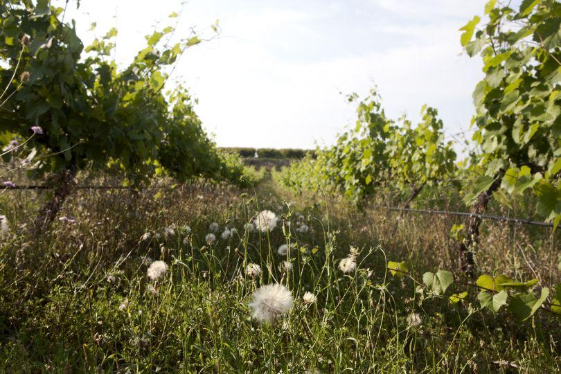 begrünter Bioweinberg in Spanien Valencia von Pago Casa Gran
