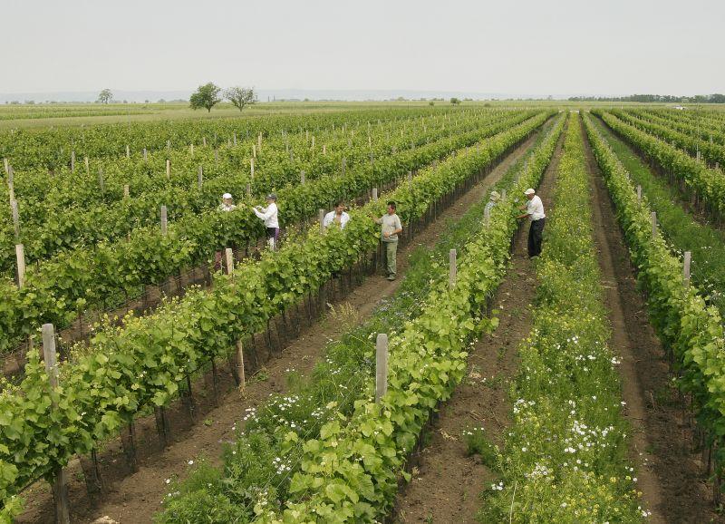 Arbeiter im Weinberg in Apetlon beim Bioweingut Sepp Moser