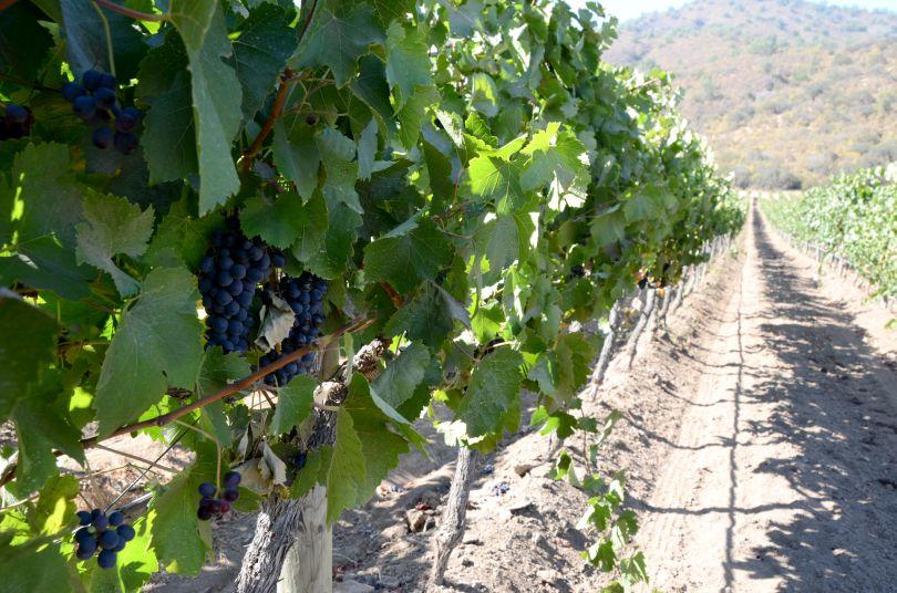 Weinberge Emiliana Chile Bewässerung