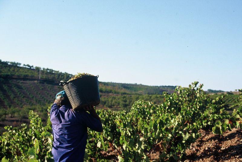 Erntehelfer bei der Traubenlese in Spanien beim Bioweingut Bodegas Langa