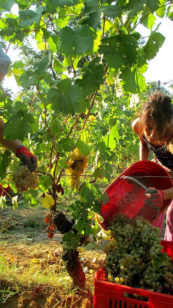 Weinlese im Piemont auf einem biodynamischen Weinberg