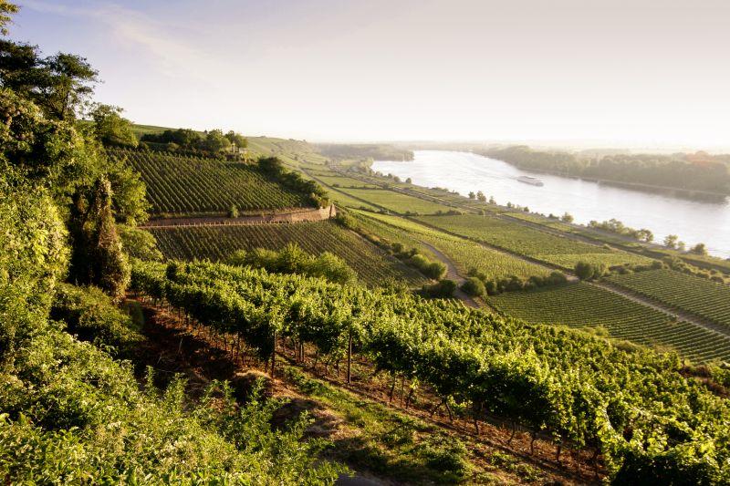 Rheinterrasse mit Lage Hipping bei Nierstein VDP Weingut Kühling-Gillot
