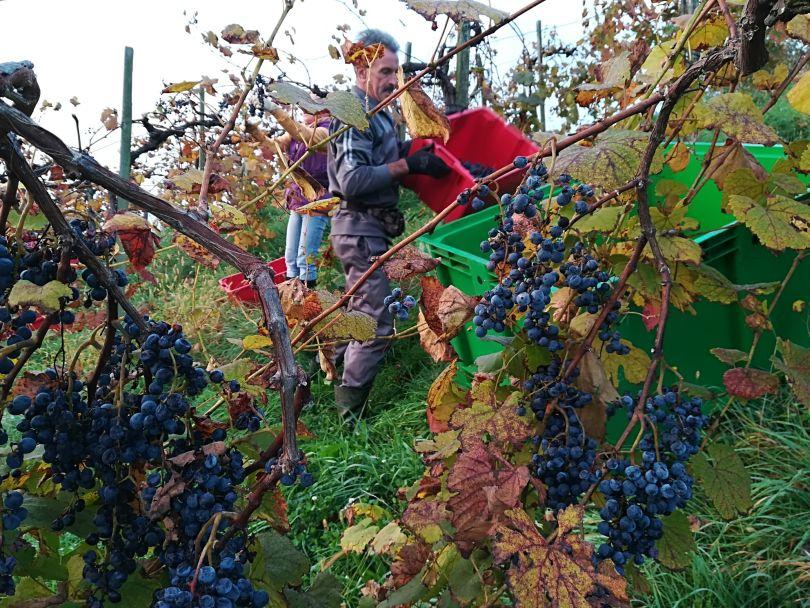Lese im Weingut Strohmeier Blauer Wildbacher