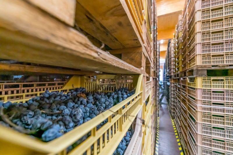 Traubentrocknung für Amarone beim Bioweingut Massimago Veneto
