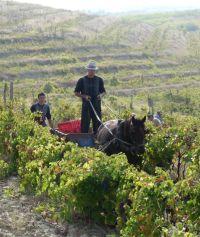 Weinernte in Rumänien