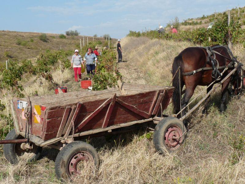 Weinlese mit Pferdefuhrwerk in Rumänien
