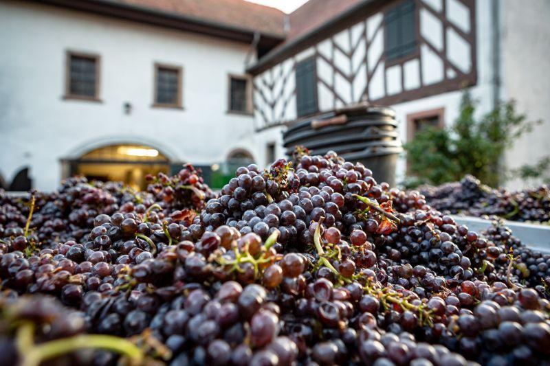 Trauben aus Handlese auf dem Hof Weingut Janson-Bernhard