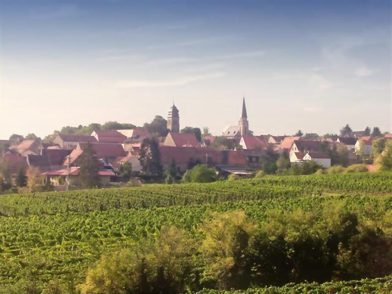 Bioweinberge in Flörsheim im Weinanbaugebiet Rheinhessen
